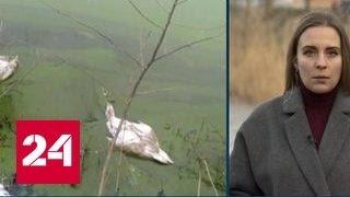 Птичий грипп убил десятки лебедей на Кубани