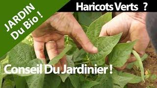 Feves France  city photos : Haricots verts ,tout savoir ou presque sur les Z'haricots verts...Cours de Jean...