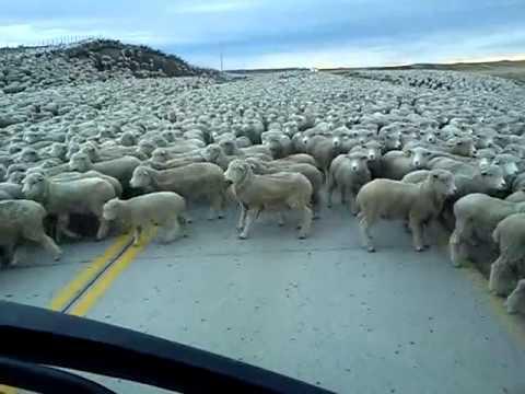 這個人在開車時忽然遇到了無邊無際的…羊?!