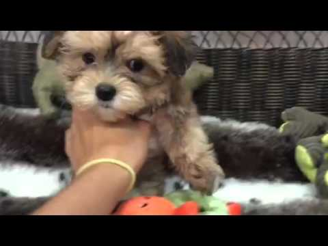 Cute-As-A-Button Female Morkie!