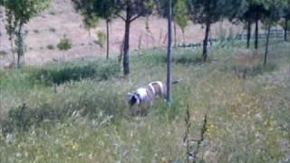 """Dawa de Sagarmatha. Hembra de Bulldog Americano de 5 años buscando conejos.Más información sobre la raza: http://www.americanbulldog.esAudio: """"Drims"""" de Oskr#1"""