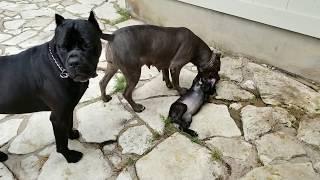 Video How mother dogs handle disrespectful puppies: Part 1 MP3, 3GP, MP4, WEBM, AVI, FLV Agustus 2018