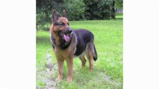 Understanding Dog Breeds: German Shepherd