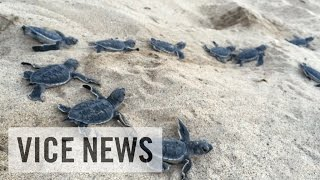ドラッグ ウミガメ 人殺し(1)コスタリカでは環境保護と密猟が共存していた…