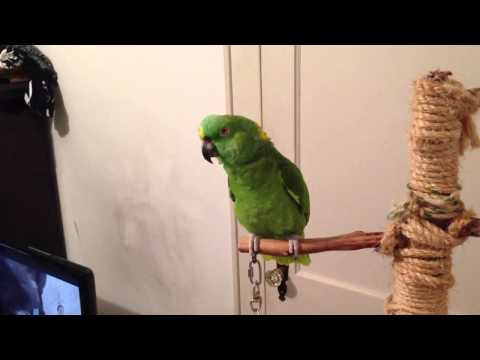 Funny Talking Yellow Naped Amazon Parrot!