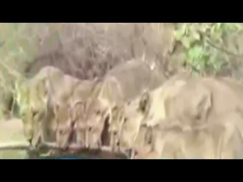Rare view of 9 lions drinking water together from a pond at Gir forest