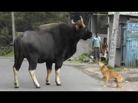 Bison Thinks Road is the Forest Only in India