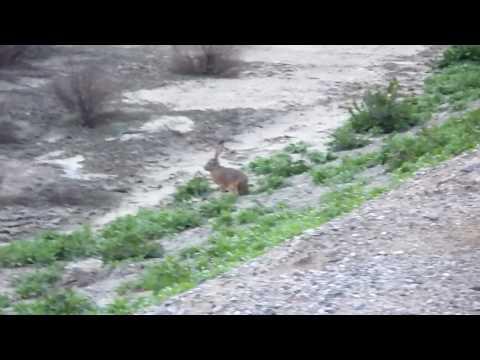 California Jack Rabbit