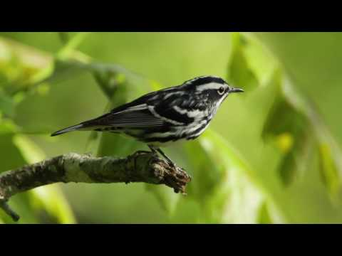 black and white - This is one of my favorites—a Black-and-white Warbler flying from perch to perch, singing it's high-pitched squeakyt song: wee-see-wee-see-wee-see (sounds li...