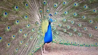 Video मोर नृत्य Peacock Dance Complete 2:20 & Screams High Quality HD, Pfau schlägt Rad , by Ute Neumerkel MP3, 3GP, MP4, WEBM, AVI, FLV Juni 2019