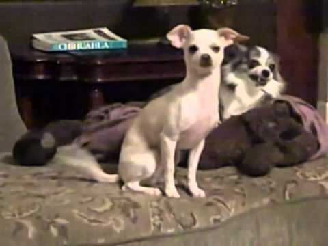 Chihuahua puppy caught on tape