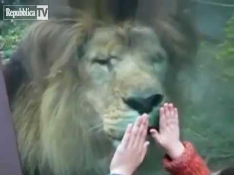 """il """"feroce"""" leone e la piccola bambina"""