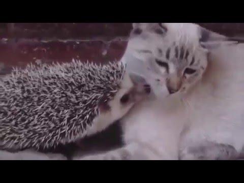 coccole tra un gatto e un riccio
