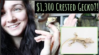 MEET MY NEW CRESTED GECKOS!   Lily White Crested Gecko by Maddie Smith