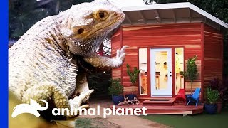 Ike and Tina The Bearded Dragons Get A Stunning Clubhouse | Animal Cribs by Animal Planet