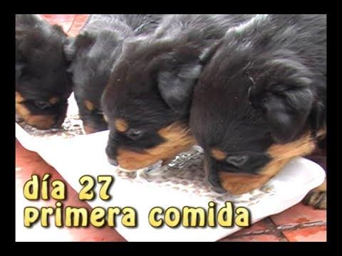 #CACHORROS ROTTWEILER - Parte 3 - Día 27 - Video de perritos - Toys Pets & kids jugando