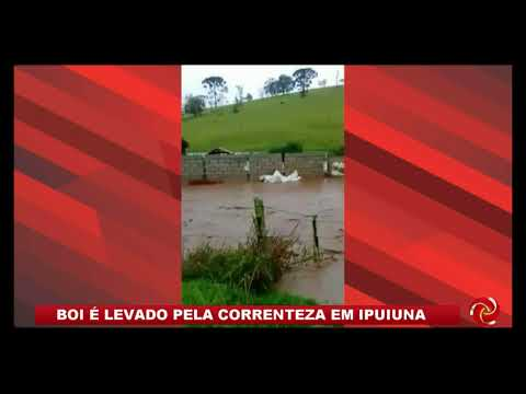 Boi é levado pela correnteza em Ipuiuna