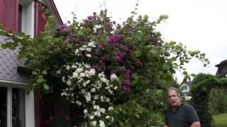 #411 Eine Minikletterrose auf Abwegen (Lady Penelope, Purple Skyline)