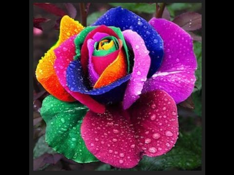 World's rare and beautiful roses