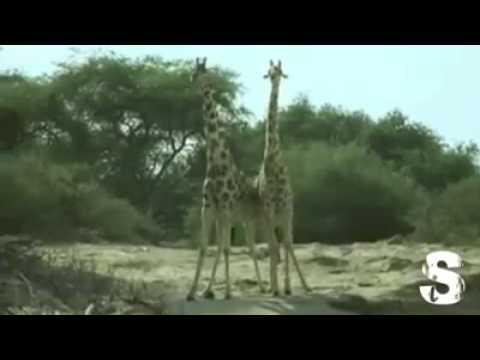 combattimento tra giraffe e animali divertenti