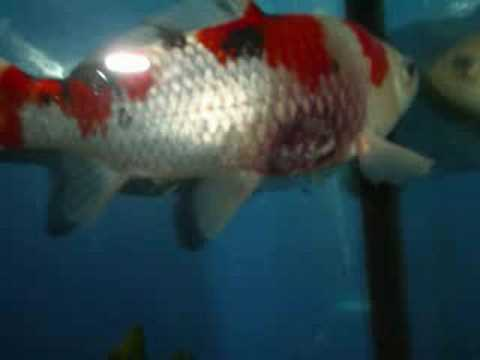 Video koi fish with disease for Koi fish parasites
