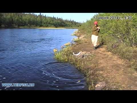 стоимость лицензии на ловлю семги на кольском полуострове