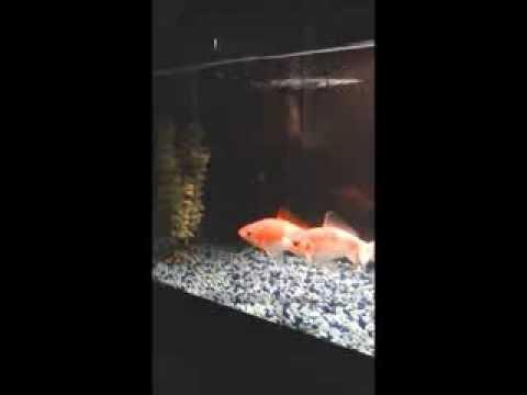 (更紗和金)金魚トレーニング