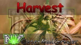 Harvest: Two Beyond Dreams, One Harvest Video by  NVClosetMedGrower