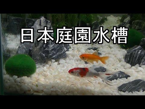 日本庭園風水槽立ち上げ 朱文金 【金魚】