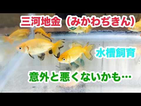 動画で金魚『三河地金(みかわぢきん)導入…水槽飼育も意外と悪くないかも…』H30.2.4 Goldfish movie from Japan