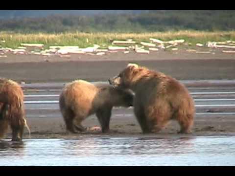 MOTHER GRIZZLY ATTACKS, bear Fight-  Alaska, Katmai