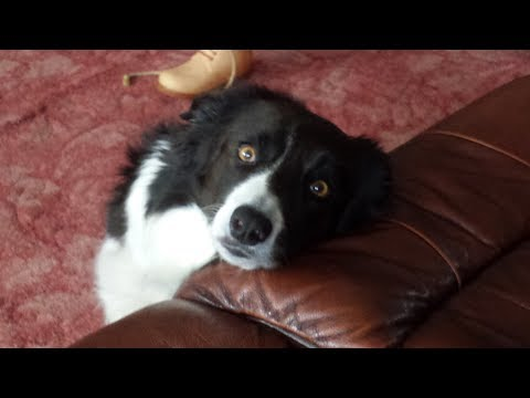 "Clever Dogs ""The Border Collie"""