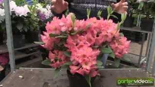 #1148 Rhododendron Hybride Balalaika