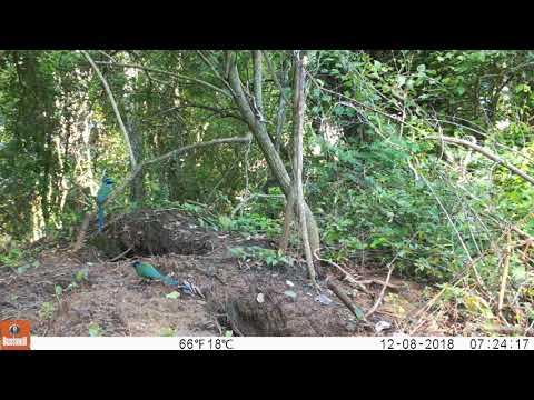 Amazonian Motmot (Momotidae) (Momotidae)