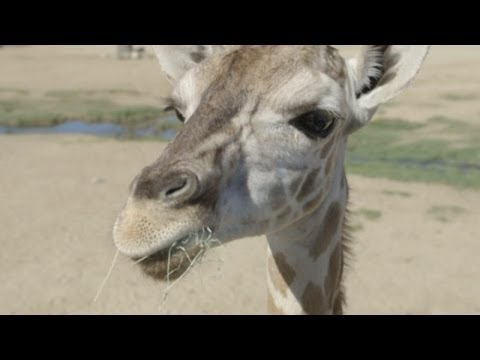 At - Subscribe to ITN News! http://bit.ly/1bmWO8h A baby giraffe who spent 39 days in intensive care has been re-introduced to the herd at San Diego zoo. Baby Ler...