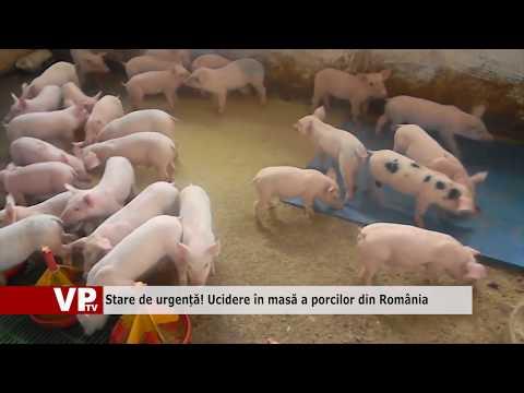 Stare de urgență! Ucidere în masă a porcilor din România