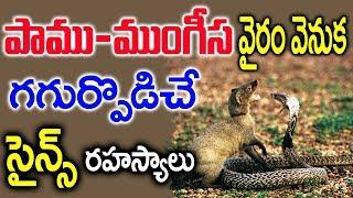 Video పాము ముంగీస వైరం వెనుక గగుర్పొడిచే సైన్స్ రహస్యాలు || Science Screte Behind Snake and Mongoose War MP3, 3GP, MP4, WEBM, AVI, FLV April 2018