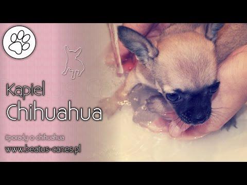 Kąpiel chihuahua