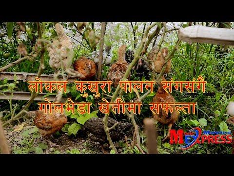 (लोक्कल खुकुरा पालन गर्ने तरिका र गोलभेडा बाट लाखखौ आम्दानी  हुने  तरिका Agree Culture In Nepal - Duration: 10 minutes.)