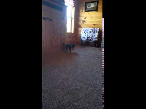 This is a video of Laci playing fetch!