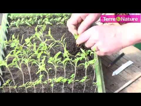 Repiquez vos plants de tomates