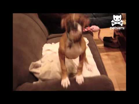 Excited - A man returns home after a long day at work and is greeted by his boxer who is literally shaking with excitement! For more hilarious pet videos check out htt...