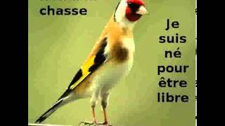 Chant de Chardonneret Kadoussi authentique