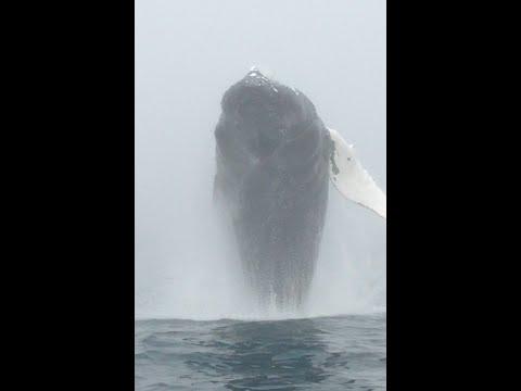 VIDEO: Captan de frente impresionante salto de ballena en Canadá