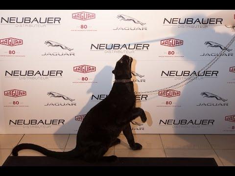 Panthère noire - Événement Jaguar - Cinéma Evénement Animalier
