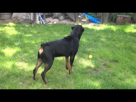 Protection - My Rottweiler Capone was doing some Home Protection Alarm Test around the backyard, the Rottweiler breed is well know for their protection skills and is cons...