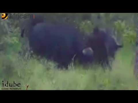 Африканский буйвол против аллигатора / видео