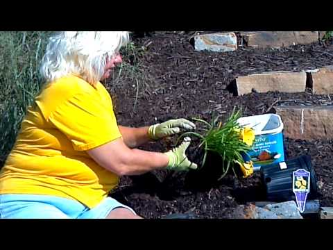 Transplanting Tulips After Bloom How to Transplant Tulips From