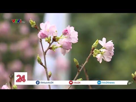 Những điểm hấp dẫn của Lễ hội hoa anh đào Nhật Bản - Hà Nội 2019   VTV24 - Thời lượng: 88 giây.
