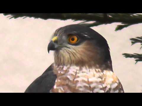 HD Sharp-Shinned Hawk closeup intense california wildlife suisun vallejo benicia